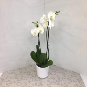 Phalaenopsis blanche deux tiges